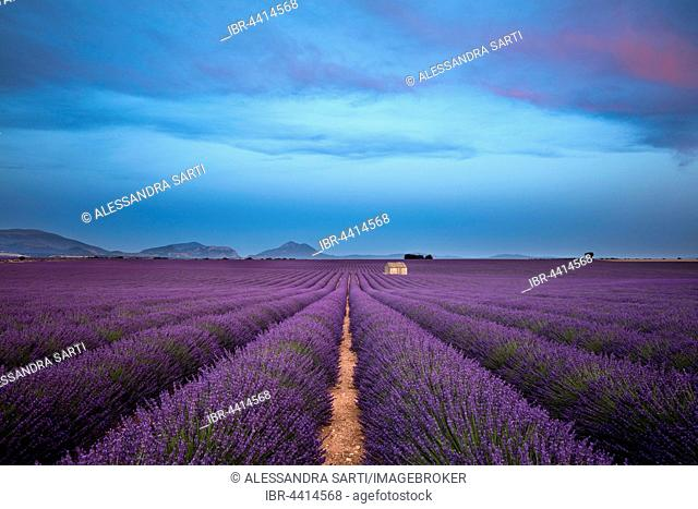 Blooming lavender (Lavandula angustifolia) with stone cottage, Valensole Plateau, Alpes-de-Haute-Provence, Provence-Alpes-Côte d'Azur, France