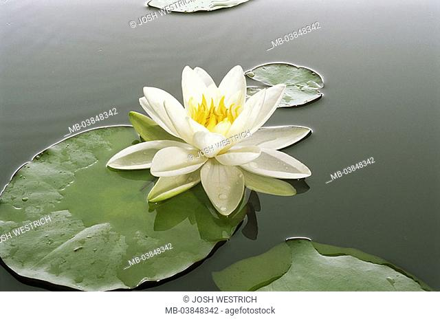 Waterlily-pond, waterlily, Nymphaea alba, bloom, series, knows sea, pond vegetation plant water-plant pond-plant, waterlily-plant, Nymphaeaceae, flower, Lotus