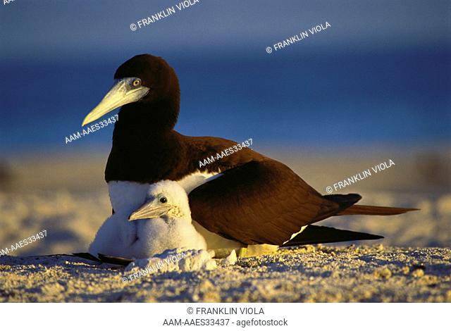 Nesting Brown Booby with Chick (Sula leucogaster), Herald Cays, Australia