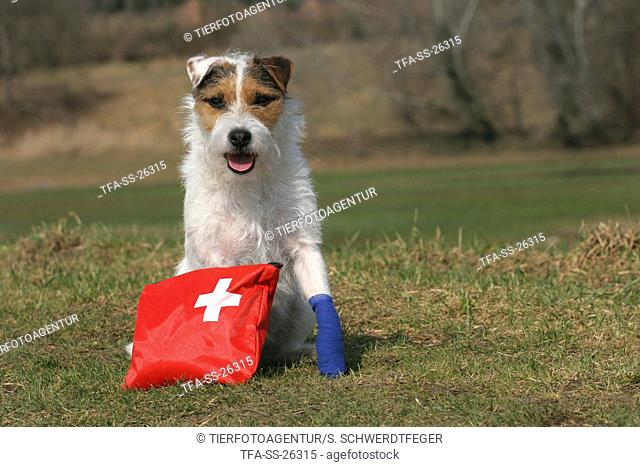 Parson Russell Terrier with first aid bag