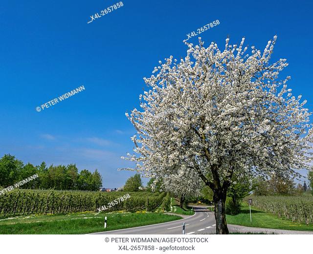 Cherry Blossom, Sakura, Cherry Tree (Prunus avium) in bloom