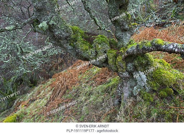 Gnarled silver birch / warty birch / European white birch (Betula pendula / Betula verucosa) tree covered in mosses and Usnea lichens in winter