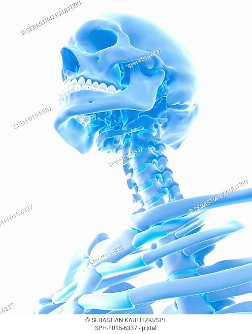 Human neck and skull, illustration
