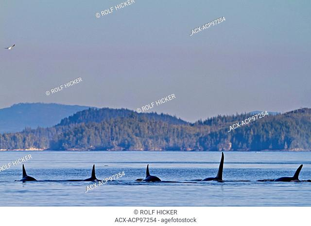 Transient killer whales (orca, Orcinus orca, T30's & T137's) after killing a sea lion off Malcolm Island near Donegal Head, British Columbia, Canada