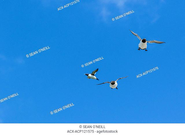 common murre (Uria aalge) in flight at Witless Bay ecological reserve, Newfoundland, Canada