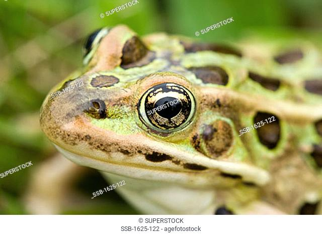 Close-up of a Leopard Frog Rana pipiens