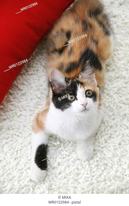 Calico cat looking up