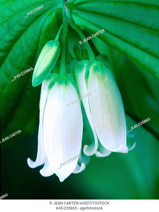 Smith's Fairybells (Disporum smithii). Oregon- USA