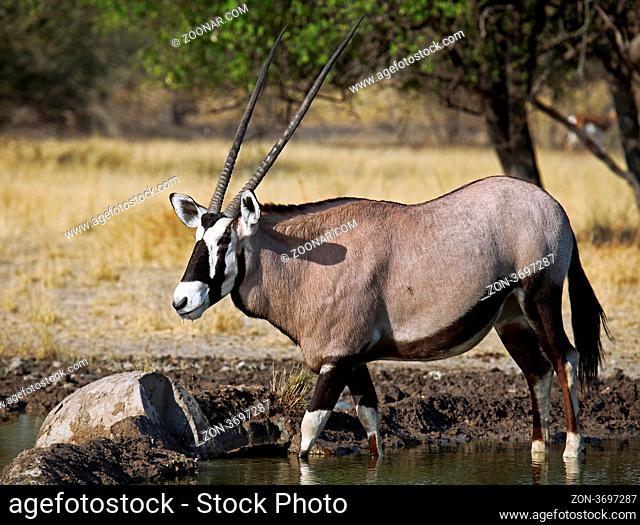 Oryxantilope, Central Kalahari Game Reserve, Botswana, Botsuana, Oryx gazella, Gemsbok, Botsuana