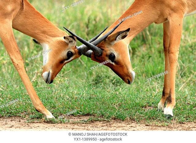 Impalas: during the rutting season, males fight fiercely for possession of females, Maasai Mara Game Reserve, Kenya