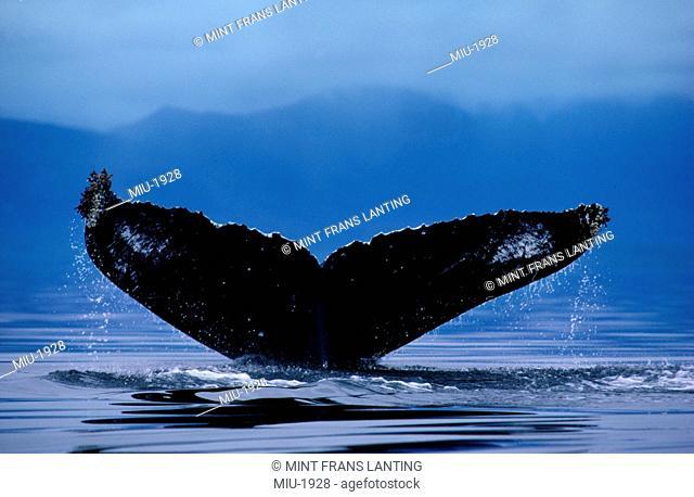 Humback whale diving, Megaptera novaeangliae, Southeast Alaska