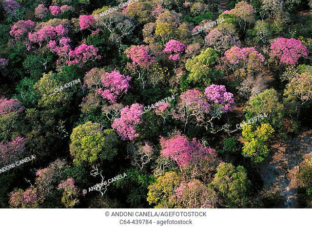 Amazon rainforest flowering. Moxos plains. Amazonia. Bolivia
