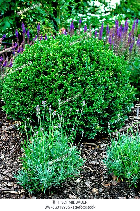 common box, boxwood (Buxus sempervirens), with lavender