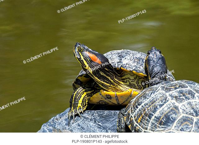 Red-eared slider / red-eared terrapin (Trachemys scripta elegans) pond slider native to the southern United States and northern Mexico