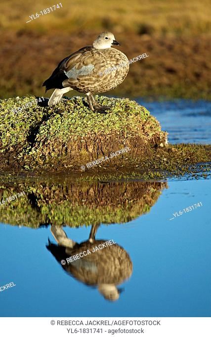 Blue-winged goose reflected in a pond