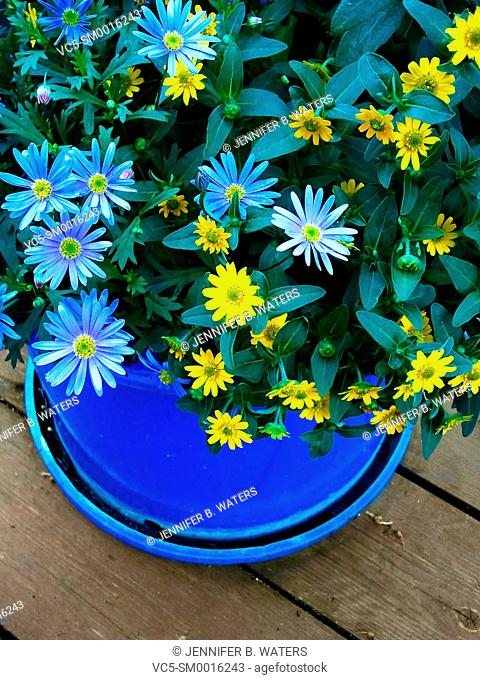 Blue Aster Frikartii Monch flowers and yellow asters in a large blue pot