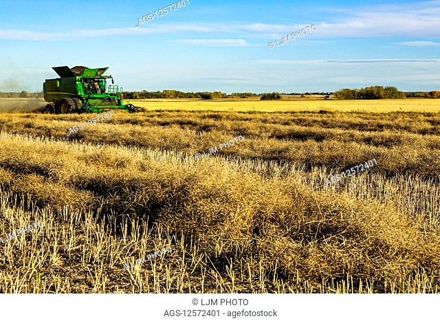 A farmer driving a combine with a nearly full load during a Canola harvest; Legal, Alberta, Canada