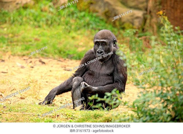 Western Lowland Gorilla (Gorilla gorilla gorilla), juvenile, captive, Apenheul Primate Park, Apeldoorn, Gelderland, The Netherlands