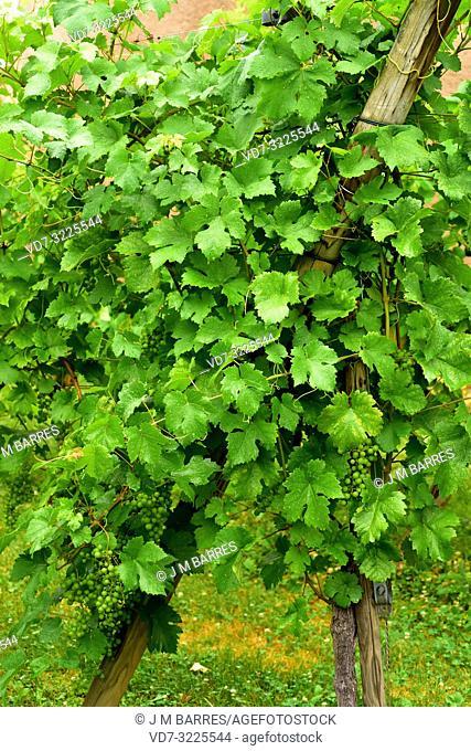 Common grape vine (Vitis vinifera) is a deciduous climber shrub native to Mediterranean Basin, central Europe and southwestern Asia