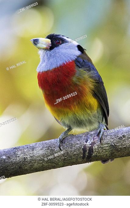 Toucan Barbet (Semnomis ramphastinus). Ecuador