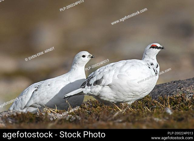 Rock ptarmigan (Lagopus muta / Lagopus mutus) pair / couple foraging in winter plumage, Cairngorms National Park, Scotland, UK