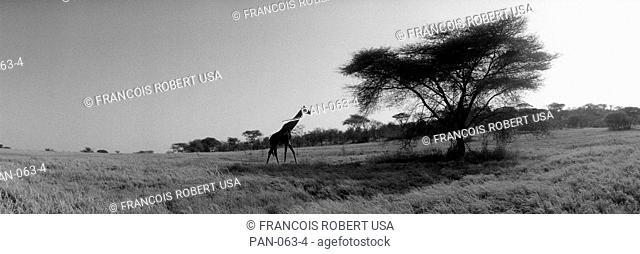 Giraffe on the Plains, Kenya, Africa