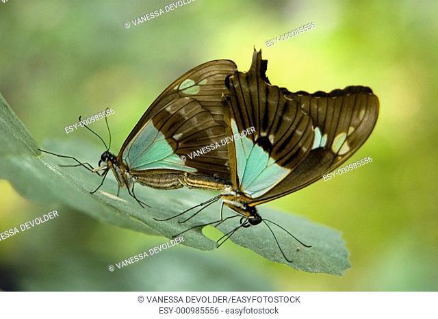 Two pairing butterflies  V5BEL009