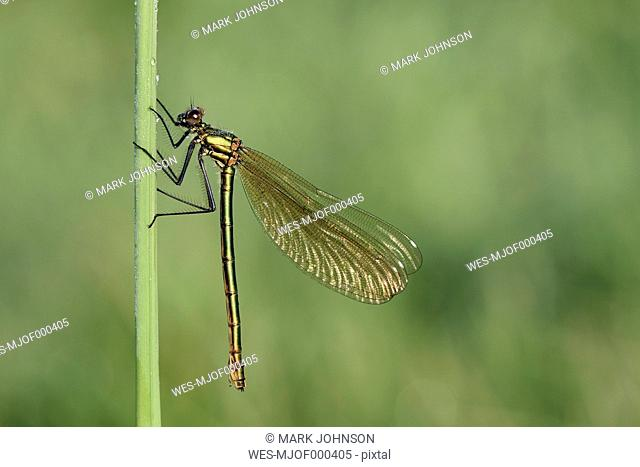 Banded demoiselle, Calopteryx splendens, hanging at blade of grass in front of green background