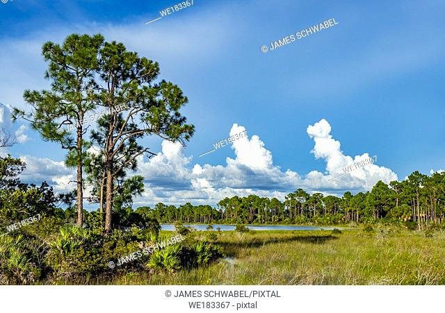 Big white summer Cumulonimbus clouds over Babcock-Webb Wildlife Management Area in Punta Gorda, Florida