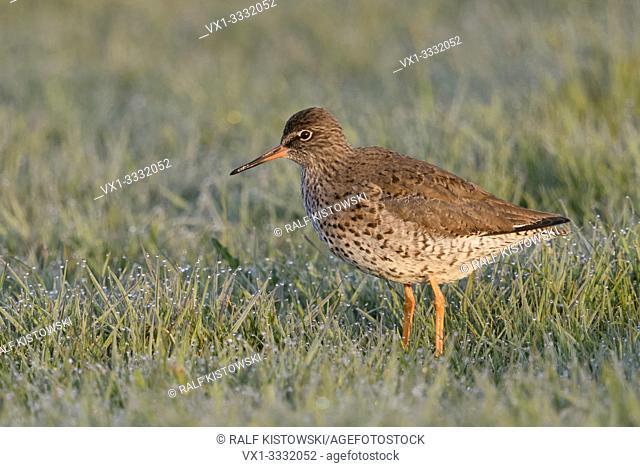 Redshank / Rotschenkel ( Tringa totanus ), adult in breeding dress, standing in a wet meadow, early morning light, side view, wildlife, Europe
