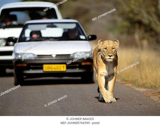 A lioness walking on a road followed by cars, South Africa