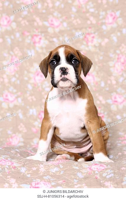 German Boxer. Puppy (6 weeks old) sitting. Studio picture seen against a floral design wallpaper