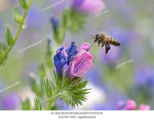 Honeybee-Apis mellifera nectaring on wild flowers. Uk