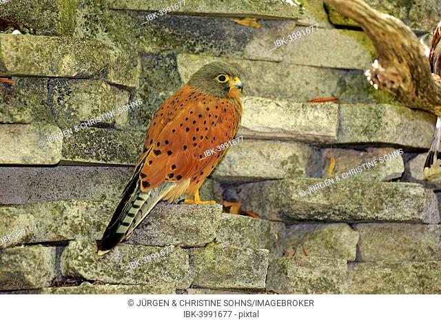 Common Kestrel (Falco tinnunculus), adult male on wall, Western Cape, South Africa