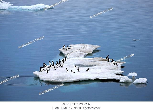 Russia, Chukotka autonomous district, Wrangel island, Pack ice, Thick Billed Murre (Uria lomvia) on ice floe