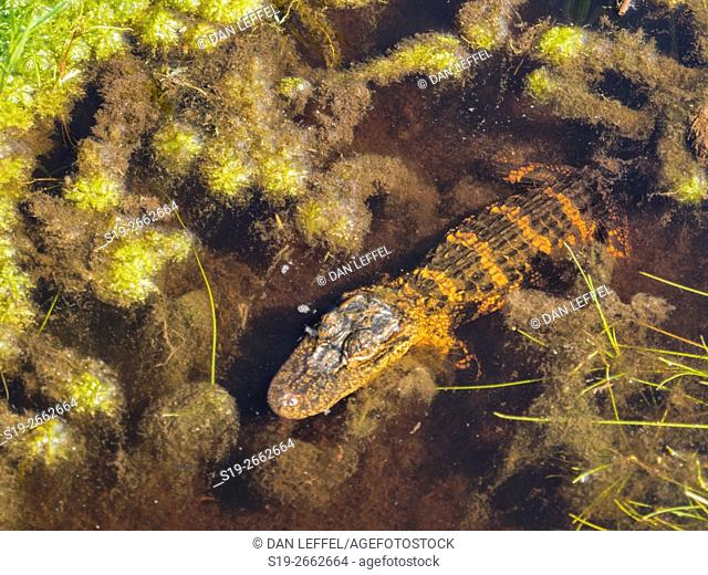 Okefenokee Swamp Baby Alligator