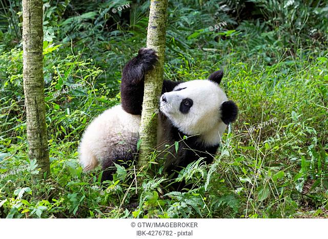 Giant Panda (Ailuropoda melanoleuca), two years old, China Conservation and Research Center for the Giant Panda, Chengdu, Sichuan, China