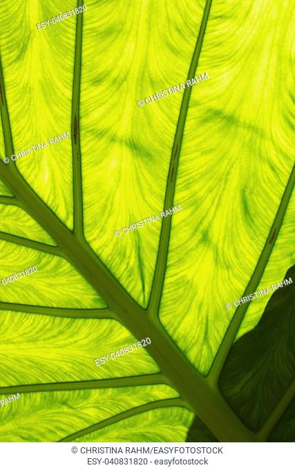 Large green leaf with veins, transparency and interesting shadows abstract organic closeup detail background texture