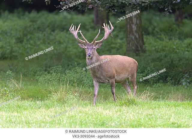 Red Deer, Cervus elaphus, Germany, Europe