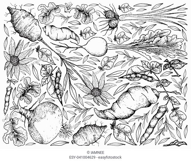 Root and Tuberous Vegetables, Illustration Background of Hand Drawn Sketch of Tigernut, Swede, Prairie Turnip, Jerusalem Artichoke and Ahipa Plants on White...