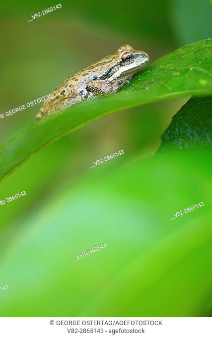 Pacific treefrog (Pseudacris regilla), Ankeny National Wildlife Refuge, Oregon