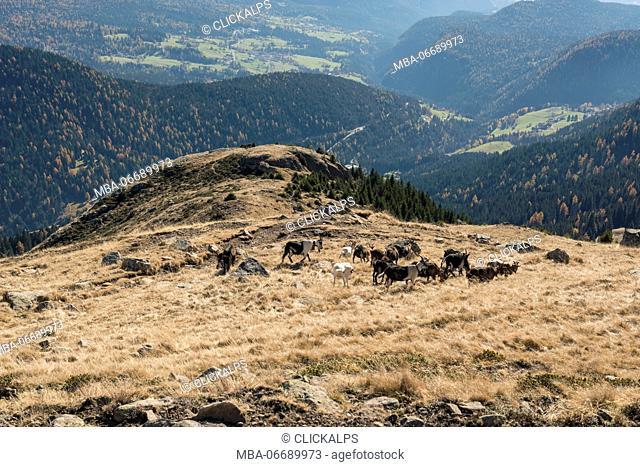 italy, trentino alto adige, herd of goats graze on Luco mount