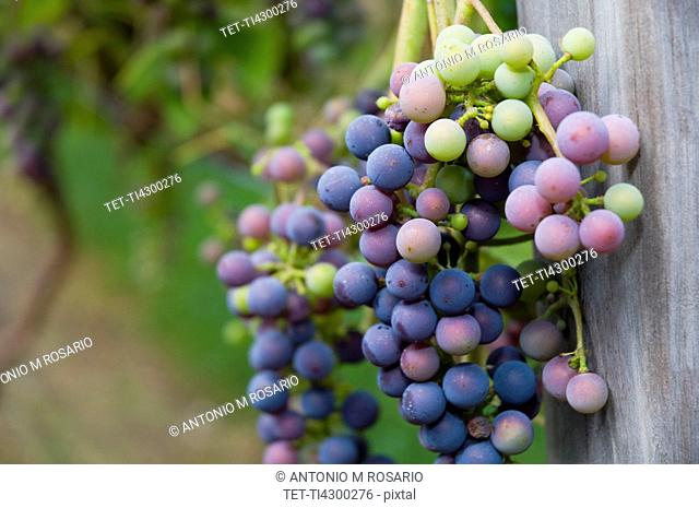 USA, Vermont, Woodstock, Bunch of unripe grapes
