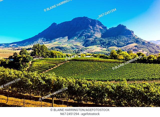 Vineyards, Delaire Graff Wine Estate atop Helshoogte Pass, near Stellenbosch, Cape Winelands (near Cape Town), South Africa