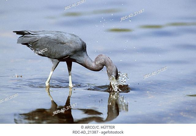 Little Blue Heron hunting Everglades national park Florida USA Egretta caerulea