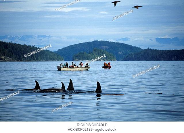 Johnstone strait, Orcas and whale watch boats, Vancouver Island, British Columbia, Canada