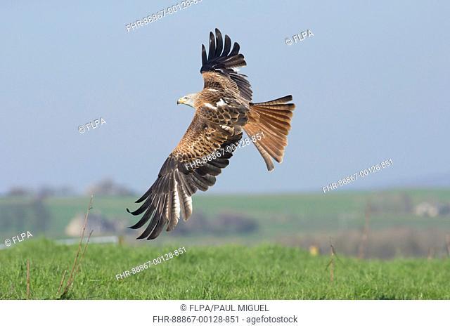 Red Kite (Milvus milvus), immature female in flight, West Yorkshire, England, April (Captive bird)