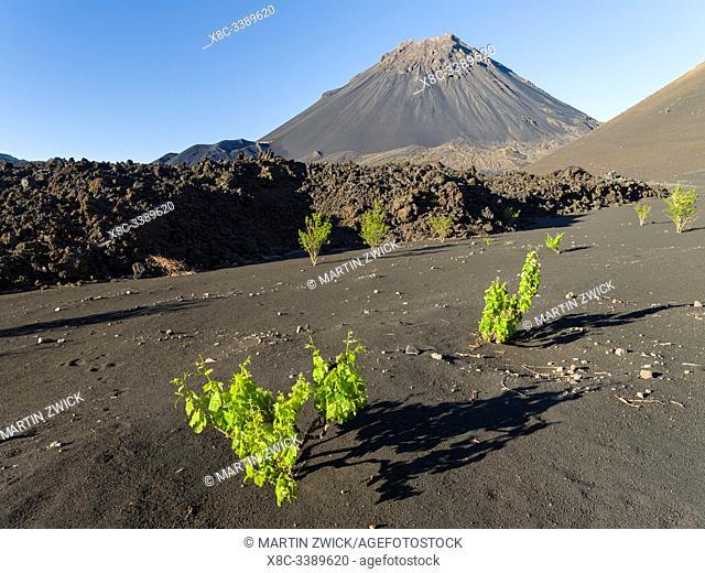 Traditional viniculture in the Cha de Caldeiras,. Stratovolcano mount Pico do Fogo. Fogo Island (Ilha do Fogo), part of Cape Verde in the central atlantic