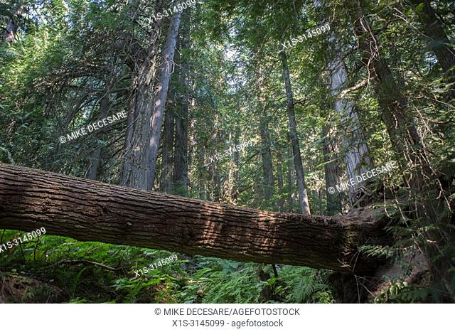 A dead fall tree, taken down by natural elements in an Old Growth forest in British Columbia, Canada, creates a natural bridge across a deep gully