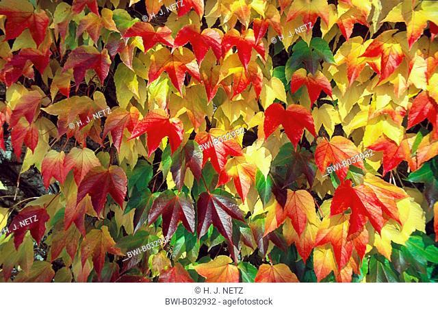 Boston ivy, Japanese creeper (Parthenocissus tricuspidata), leaves in autumn colour